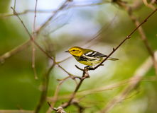 Black Throated Green Warbler. royalty free stock images