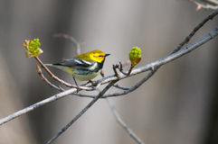 Black-throated Green Warbler. On a branch royalty free stock image