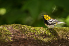 Black-throated Green Warbler Stock Photos