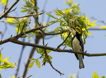 Black Throated Green Warbler Royalty Free Stock Photo