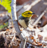 Black Throated Green Warbler Royalty Free Stock Photos