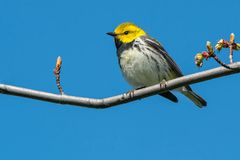 Black-throated Green Warbler. Perched on a branch. Ashbridges Bay Park, Toronto, Ontario, Canada Stock Photography