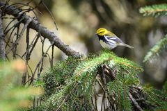Black-throated Green Warbler Perched in Evergreen stock photos