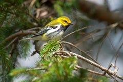 Black-throated Green Warbler - Setophaga virens royalty free stock image