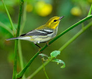 Black-throated Green Warbler Stock Images