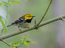 Black-throated Green Warbler poses in budding tree Stock Photos
