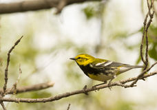 Black Throated Green Warbler Stock Photography