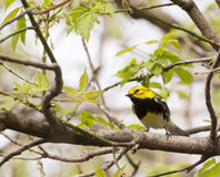 Black Throated Green Warbler Stock Photos