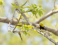 Black Throated Green Warbler Royalty Free Stock Photography