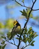 Black-throated Green Warbler singing Stock Photo