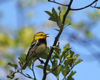 Black-throated Green Warbler singing Stock Image