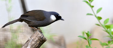 Black-throated Laughingthru Royalty Free Stock Images