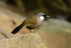 Black-throated laughingthrush Stock Images