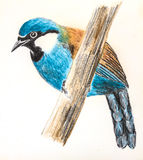 Black-throated Laughingthrush bird drawing. The original drawing of birds on white paper,  Black-throated Laughingthrush Stock Photo