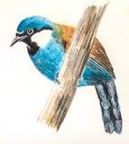 Black-throated Laughingthrush bird drawing Stock Photo
