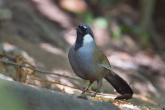 Black throated laughingthrush Stock Photography