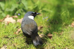 Black-throated laughingthrush Stock Image