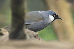 Black-throated laughingthrush Stock Photos