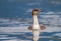 Black-throated loon royalty free stock images