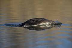 A black-throated loon in winter plumage diving in a pond in the city Utrecht the Netherlands. A black-throated loon Gavia arctica in winter plumage diving in a stock photos