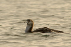 Black Throated Loon Royalty Free Stock Photo