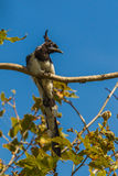 Black-Throated Magpie-Jay. Adult Black-Throated Magpie-Jay Perched on Limb of American Cycamore Tree Stock Photos
