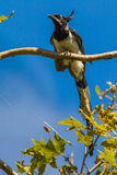 Black-Throated Magpie-Jay Royalty Free Stock Image