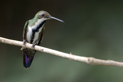 Black-throated Mango (Anthracothorax nigricollis) female. In Argentina Stock Photography