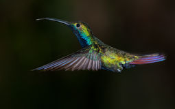Black-throated Mango hummingbird. Stock Photo