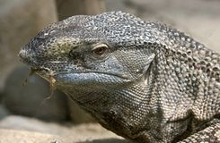 Black-throated monitor 1 Royalty Free Stock Images