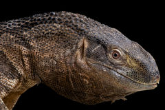 Black-throated monitor. The Black-throated monitor / Varanus albigularis ionidesi is the second biggest monitor (lizard) species of Africa. A top predator with Royalty Free Stock Photos