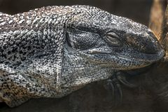 Black-throated monitor`s head 1 Stock Photo