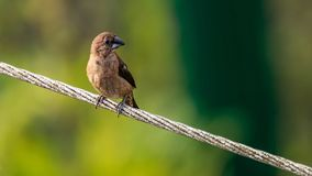 Black-throated munia or the Lonchura kelaarti royalty free stock photography
