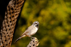 Black Throated Sparrow Stock Photos