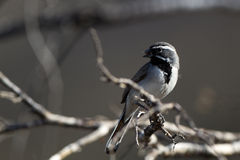 Black-throated Sparrow, Amphispiza bilineata Royalty Free Stock Photos