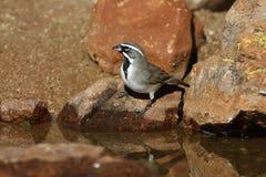 Black-throated sparrow, Amphispiza bilineata stock images