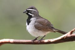 Black-throated Sparrow Amphispiza bilineata Royalty Free Stock Photos