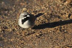 Black-throated Sparrow - Amphispiza bilineata Stock Photos