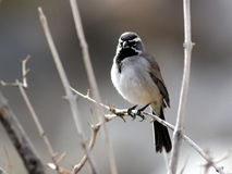 Black-throated Sparrow Backlit Stock Photography