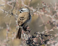 Black Throated Sparrow in the Desert Royalty Free Stock Photo