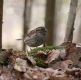 white-throated sparrow in the leaves royalty free stock photos