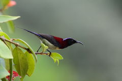 Black-throated Sunbird Stock Images