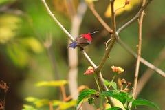 Black-throated Sunbird Stock Images