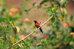 Black-throated Sunbird Royalty Free Stock Photography