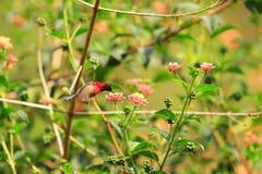 Black-throated Sunbird Royalty Free Stock Photos