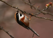 Black-throated Tit Royalty Free Stock Image