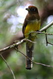 Black-throated Trogon Female Stock Images