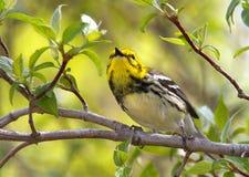 Black-throated Warbler, Magee Marsh, Ohio, spring migration. Black-throated Green warbler, female, migration time along Lake Erie, Ohio Stock Image