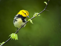 Black-throated Warbler Stock Photo