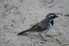 Black Throuted Sparrow in Joshua Tree National Park. A Black Throuted Sparrow sitting on a tree in Joshua Tree National Park Royalty Free Stock Photos